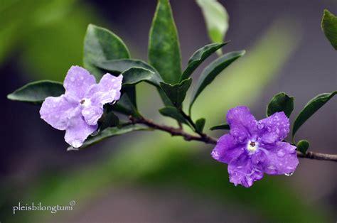 Benih Bunga Balsem Ungu 1 inside the of brunfelsia uniflora cigudeg pleis bilong tu mi