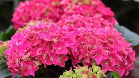 hortensien wann pflanzen bauernhortensien schneiden hortensien bauernhortensien
