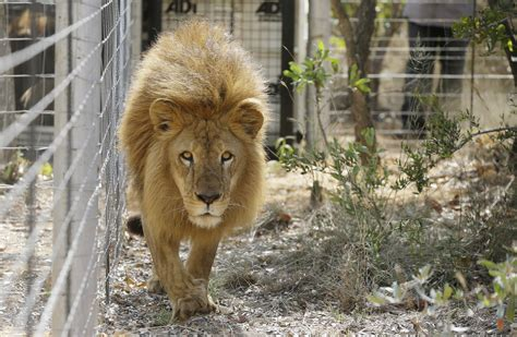 lions home rescued circus lions explore new home in south