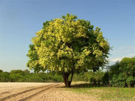 Tree Of national tree of sri lanka na tree 123countries