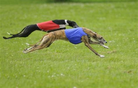 fastest dogs the 10 fastest breeds on earth