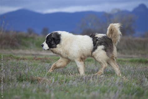 pyrenean mastiff puppies pyrenean mastiff wallpapers hd
