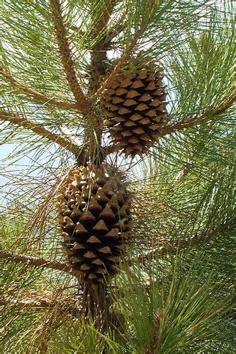 pine cone trees big cone pine pinus coulteri 183 inaturalist org