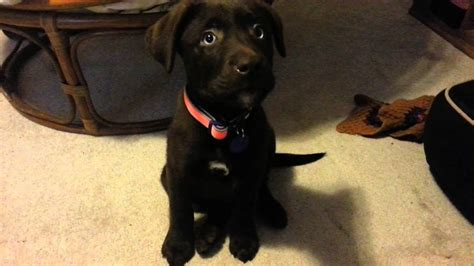 chocolate lab puppies ta chocolate labrador with blue www pixshark