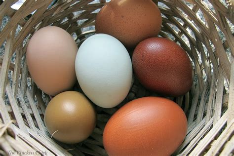 Backyard Chicken Eggs 8 Tips For Clean Eggs From Backyard Chickens The Chicken 174