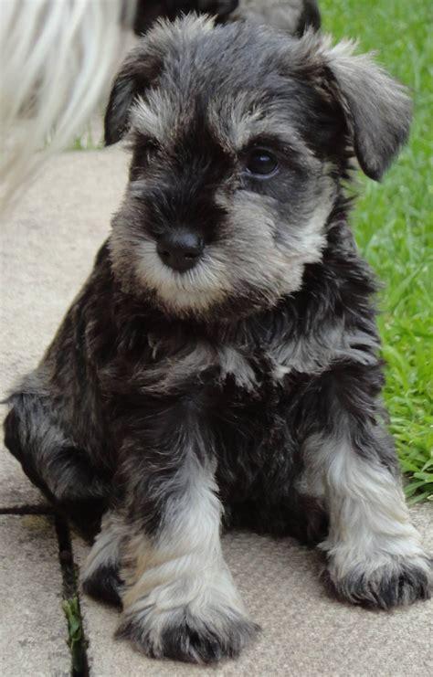 schnauzer puppies colorado miniature schnauzer breeders images search