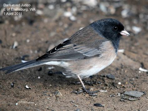 northwest nature notes return of the juncos