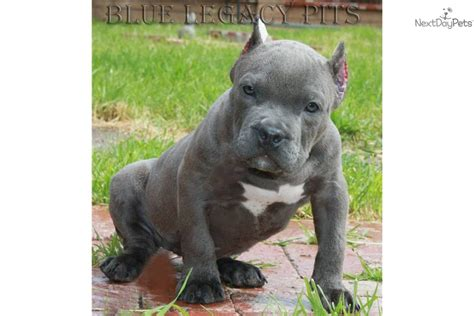 pocket pit puppies american pit bull terrier puppy for sale near orange