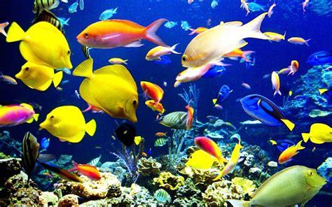 Makanan Ikan Hias Patin gambar ikan hias