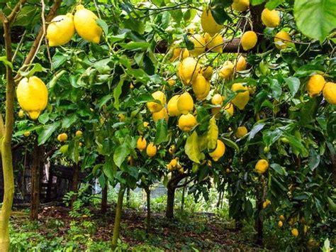 raccolta limoni in vaso l aleurodide il parassita minaccia limoni e agrumi