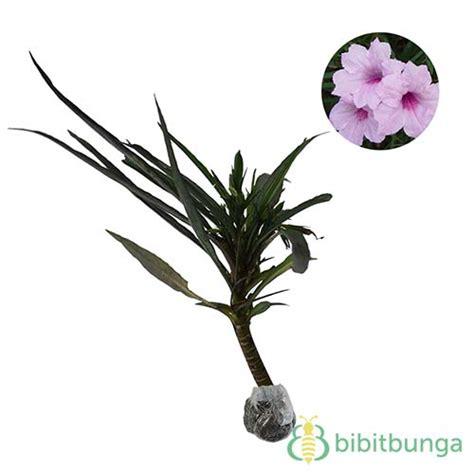 tanaman ruellia pink jual tanaman hias