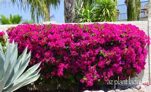 bougainvillea colors hedges
