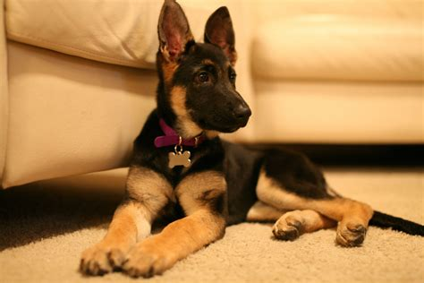 how to a german shepherd tricks german shepherd puppy obedience pictures for breeds picture