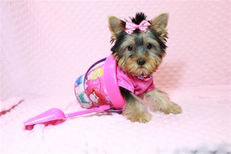 yorkie breeders in las vegas teacup yorkie puppies for sale in las vegas