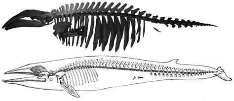 whale skeleton diagram pygmy right whale biological marginalia