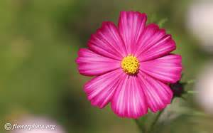 red cosmos flower picture