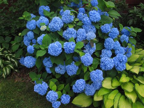 buy hydrangea endless summer online free shipping over