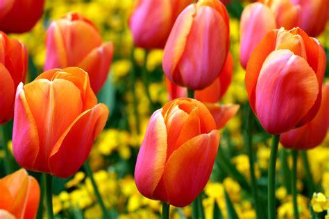 immagini di fiori tulipani umbria ed olanda unite dai tulipani 171 iltamtam it il