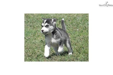 forever puppy husky meet kavik a siberian husky puppy for sale for 425 quot kavik quot best buddy forever