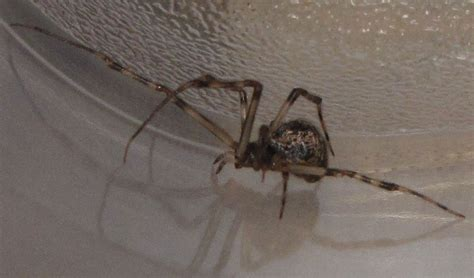 common house spiders in pa common house spiders in pa 28 images florida wandering spider common house spider