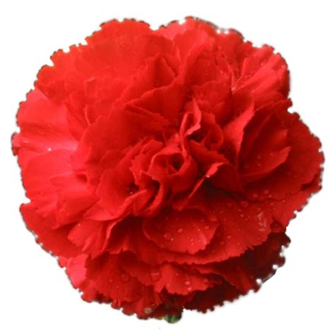 facts about carnations carnation flower facts carnation flower meaning color