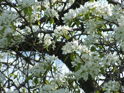 pear tree sun rise 2 25 14 lorain county ohio usa