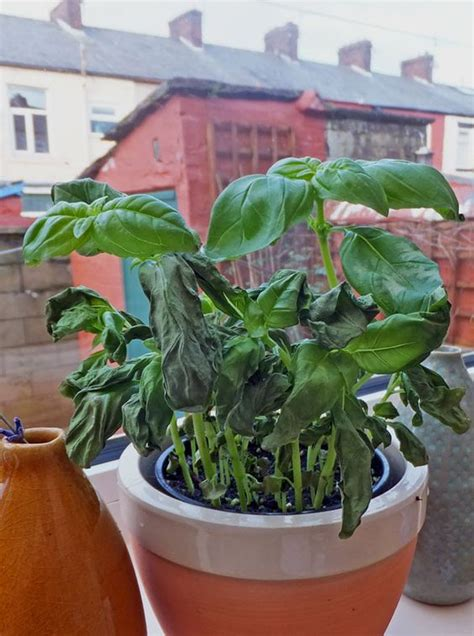 revive your basil plant and how to compost coffee grounds gt gt http blog hgtvgardens com grow
