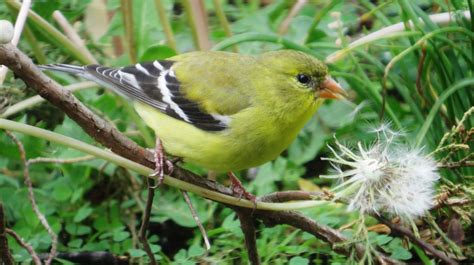 american goldfinch eating dandelion seeds feederwatch