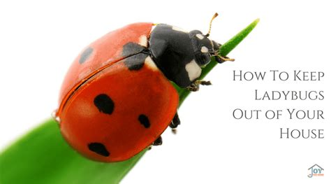 ladybugs in the house how to keep ladybugs out of your house joy in the home