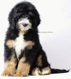 Do Bernedoodles Shed by 1000 Images About Sheepadoodles On