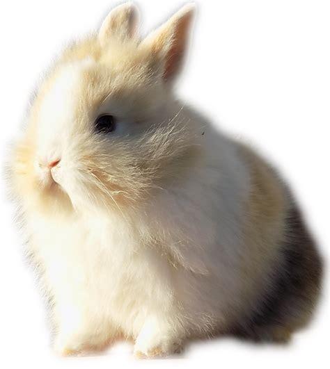 conigli nani alimentazione la nuova fattoria conigli nani da compagnia l allevamento