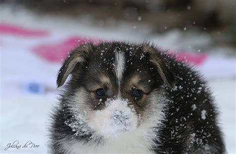corgi puppies indiana puppies in snow www imgkid the image kid has it