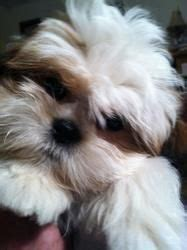 shih tzu puppies omaha teacup shih tzu puppies for sale shih tzu pictures from around the