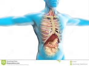 The human body anatomy royalty free stock photography image
