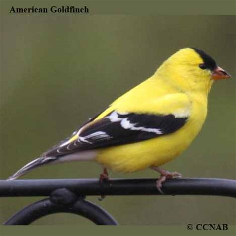 american goldfinch north american birds birds of north