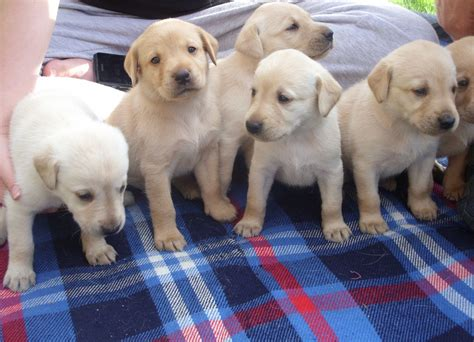 labrador puppies and dogs for sale pets classifieds adorable pedigree yellow labrador puppies for sale