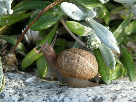 how to find a snail in your backyard controlling snails ladera heights community information