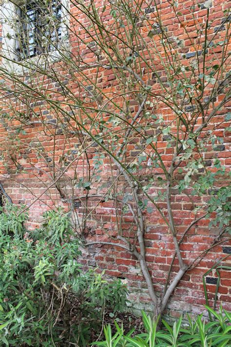 rose pruning the climbing ones the sproutling writes