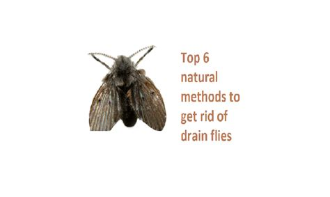 how to get rid of drain flies in the bathroom get rid of drain flies top 6 natural fastest methods