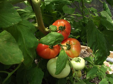 planting a vegetable garden for beginners how when and