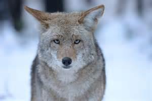 Backyard Wildlife Camera Coyote Hunting Contests In California Repugnant Or