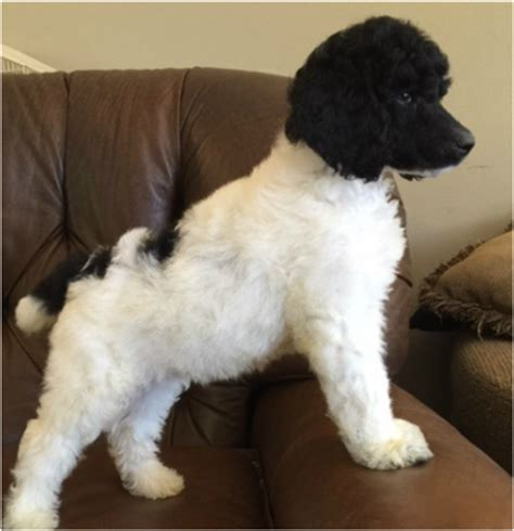 standard poodle puppies jms standard poodles puppies available