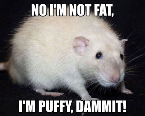 Rodent Meme - 441 best rats love memes images on pinterest rats rat