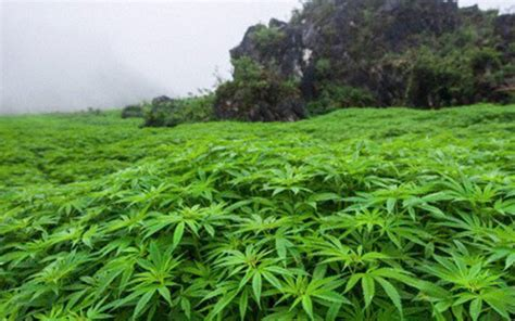 lade cannabis la marihuana cultivada en m 233 xico a la baja por