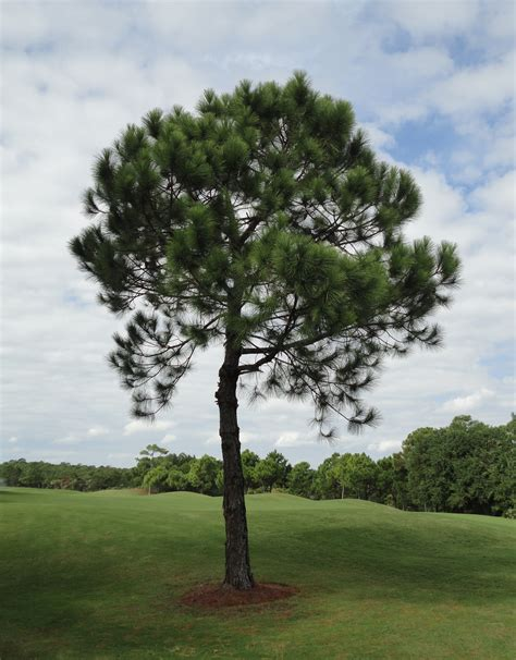 golf tree file tree at golf course jpg wikimedia commons