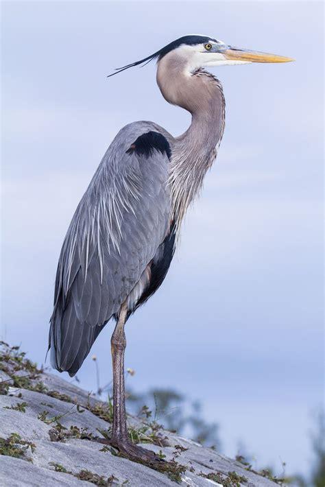 science animals great blue herons images  pinterest blue heron grey heron  birds