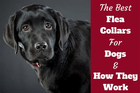 best flea collar for puppies best flea collars for dogs plus how they work should you use one