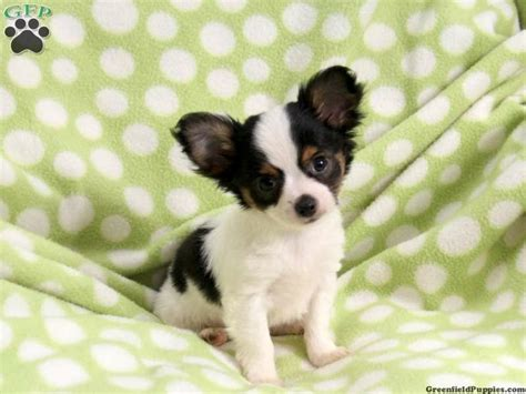 chihuahua puppies for sale in pa 17 best images about stuff to buy on micro teacup puppies chihuahuas and