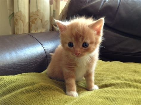 For Cats by Shorthaired Kitten For Sale Aldershot