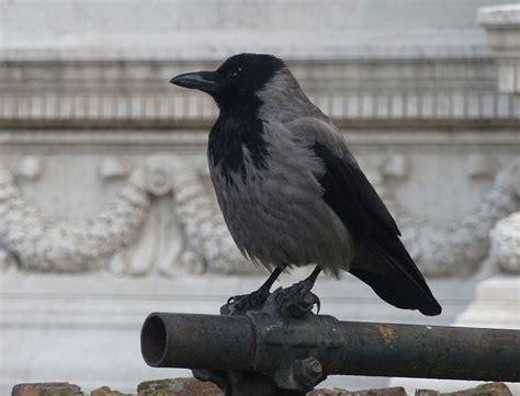 Birding whilst in Rome   Three Amigos Birding
